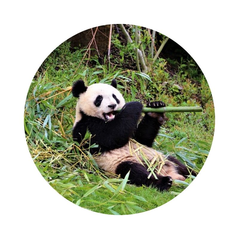 Bambus_lieblingsspeise_der_pandas