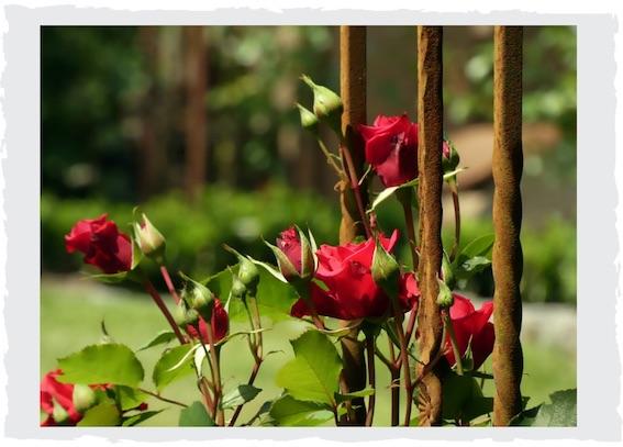 rankhilfe-rost-rosen