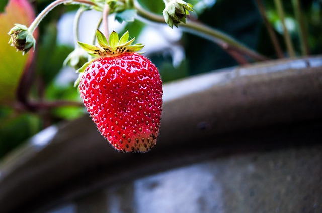erdbeere-im-topf