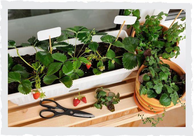 Erdbeeren-anpflanzen